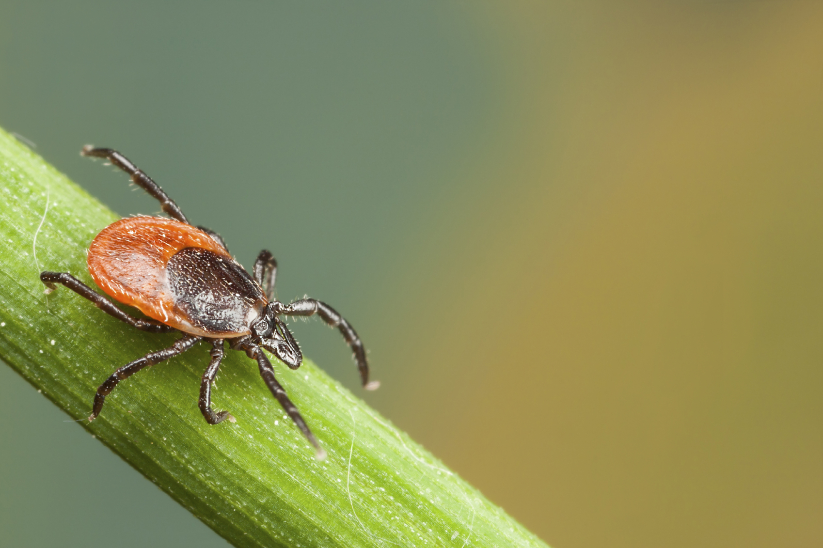 Ticks Can Transmit A New Lyme Like Disease Harvard Health Blog Harvard Health Publishing