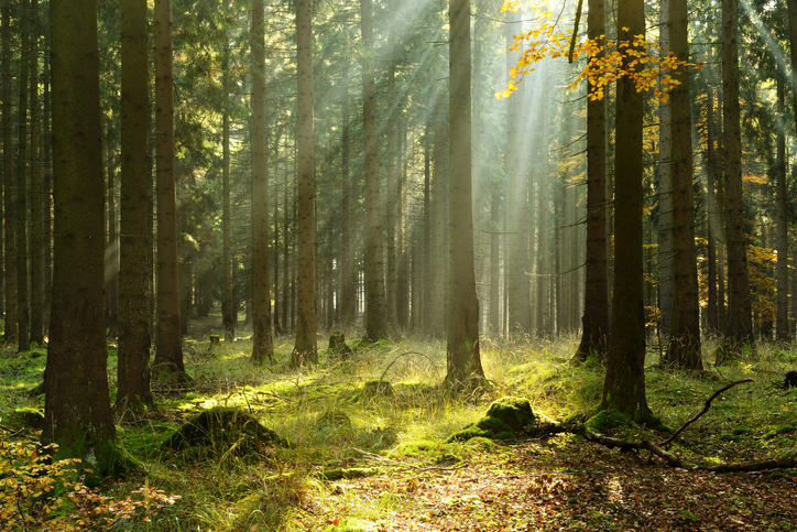 Rays of sunlight in a spruce forest