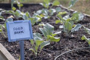 Vegetais verdes plantados para o banco de alimentos local.